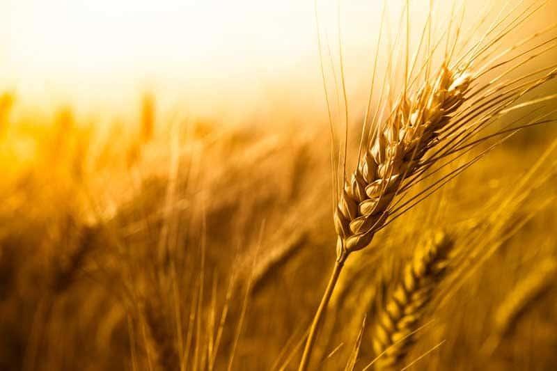 shavuot-wheat